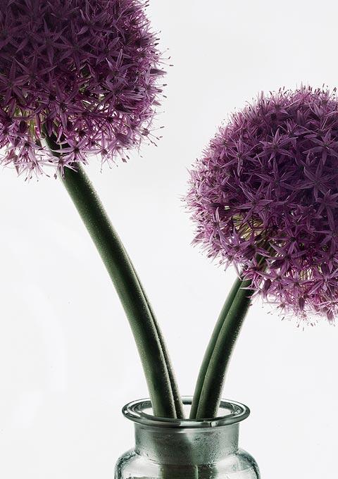 Peter Lippmann - Allium