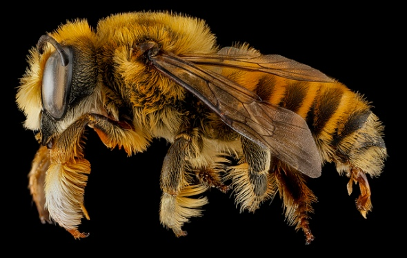 Megachile fortis
